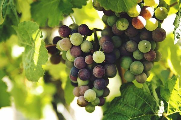grapes-1246531_960_720